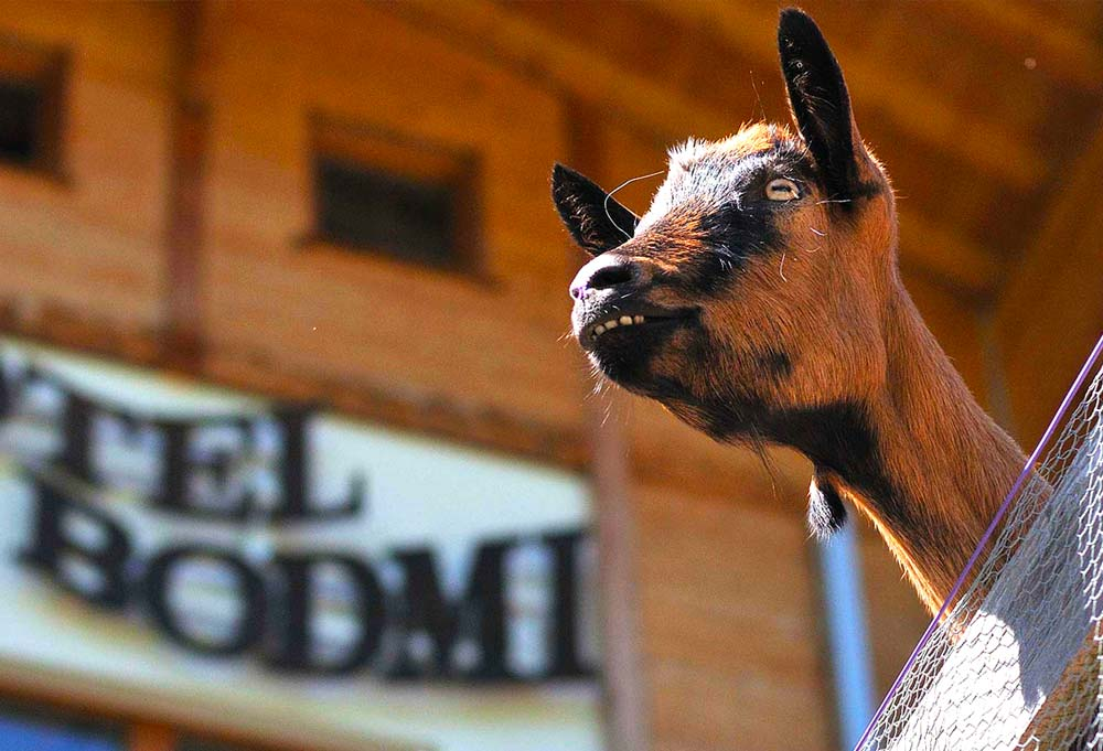 Our very own goats can be watched right from the sauna, a very special attraction of our swiss wellnesshotel Bodmi