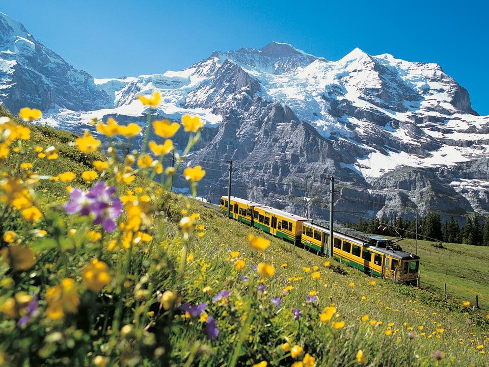 Die Jungfraubahn fährt an einem Hang voller gelber und violetter Blumen vorbei, im Hintergrund deuten sich die Berge der Region Grindelwald an.